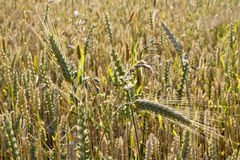 Barley ears royalty free stock photo