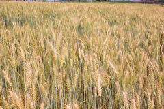 Barley farm background. Barley field background on the mountain Royalty Free Stock Photos