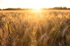 Barley Farm Field in Golden Light Stock Photo