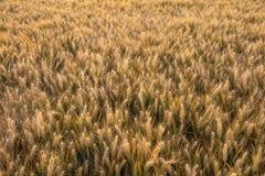 Barley Farm Field in Golden Light Stock Photography