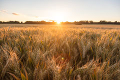 Barley Farm Field at Golden Sunset or Sunrise Royalty Free Stock Photography