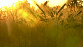 Barley Farm Field at Golden Sunset or Sunrise. Golden field of barley crops growing on farm at sunset or sunrise stock footage