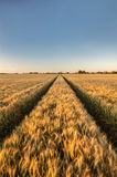 Barley Farm Field at Golden Sunset or Sunrise Stock Photography