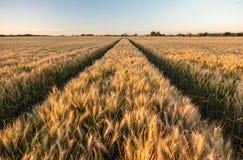 Barley Farm Field at Golden Sunset or Sunrise Stock Photo