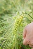 Barley. Farmer Hand holding ears of barley ripening Stock Photos