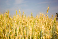 Barley farms. Barley farming with blue sky Stock Photos