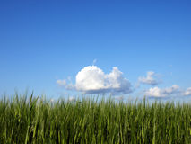 Barley field. Green barley field against a blue sky Royalty Free Stock Image