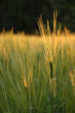 Barley field. In golden sunset Stock Images
