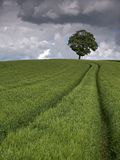 Barley Field. And tree under stormy sky stock photo