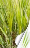 Barley field. Royalty Free Stock Photography