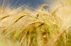 Barley field Stock Photography