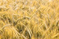 Barley field Stock Photos