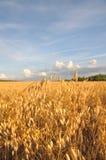 Barley Field Royalty Free Stock Photography