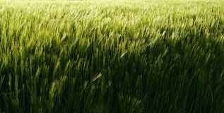 Barley field. Background. Texture. Detail Royalty Free Stock Image