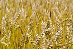 Barley field Royalty Free Stock Photography