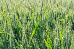Barley field Royalty Free Stock Image