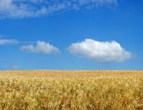 Barley field. Stock Photo