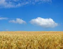 Barley field. Barley field under blue sky Stock Photo