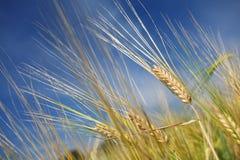 Barley in field Stock Image