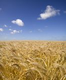 Barley Field 3 Stock Photography