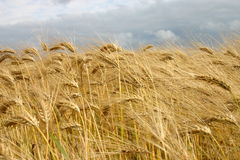 Barley field. Matures barley with thunderstorm sky stock images