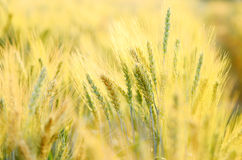 Barley field. In the northern of Thailand stock photos