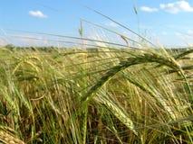 Barley field 5. A barley field with shining golden barley ears in late summer Stock Image