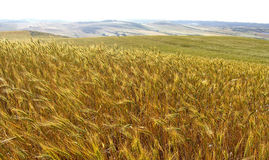 Barley field. With more fields on the horizon Royalty Free Stock Images