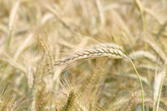 Barley field. Magnificent view of a barley field Royalty Free Stock Images