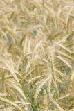 Barley field. Magnificent view of a barley field Royalty Free Stock Photo