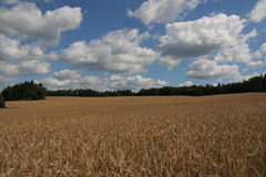 Barley field. With the cloudy sky Royalty Free Stock Photos