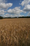Barley field. With the cloudy sky Royalty Free Stock Images