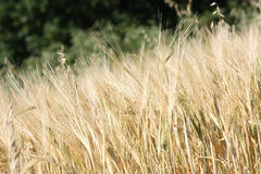 Barley field. Rural background: ripe barley spikes ready for harvest Royalty Free Stock Images