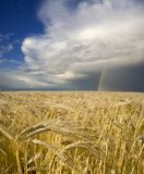 Barley Field. A field of ripening barley sits beneath a rainbow, offering hope for the future of agriculture Royalty Free Stock Images