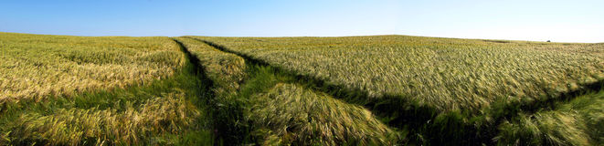 Barley field. Panoramic view of green barley field Royalty Free Stock Photos