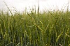 Barley field. Field of green barley ears Royalty Free Stock Photography