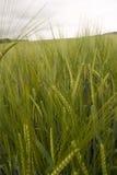 Barley field. Field of green barley ears Stock Photo