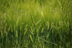 Barley field, abstract nature background for agriculture, world Stock Photos