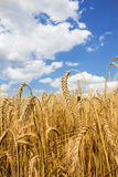 Barley field against blue summer sky with clouds Royalty Free Stock Image