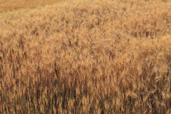 Barley field of agriculture Royalty Free Stock Image