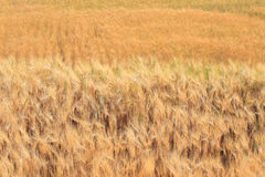 Barley field of agriculture Stock Photos