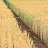 Barley field of agriculture Stock Image
