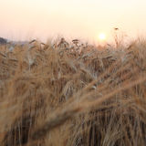 Barley field of agriculture Royalty Free Stock Photo