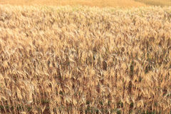 Barley field of agriculture Royalty Free Stock Photos