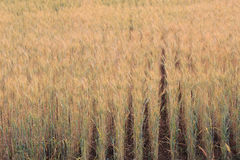 Barley field of agriculture Stock Images