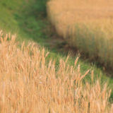 Barley field of agriculture Royalty Free Stock Images