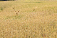 Barley field of agriculture rural scene Stock Images