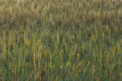Barley field of agriculture rural scene Stock Photos