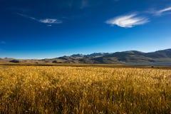 Barley Field At Tso Moriri Lake. India, Ladakh Royalty Free Stock Photography