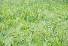 The barley field background Royalty Free Stock Photo